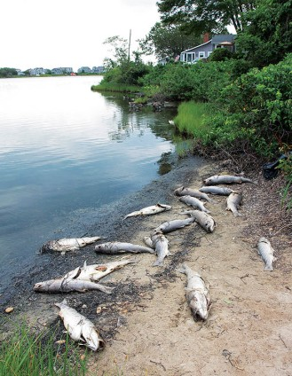COURTESY FALMOUTH ENTERPRISE - Sixteen dead striped bass were among dead fish found on the shore of Little Pond in Falmouth Heights in July 2012.